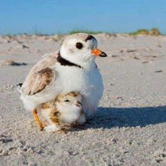 sand piper with chick