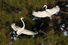A pair of Great Egrets squaring off above Venice Rookery Aerial Combat by Jeff Dyck