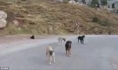 """""""O Grito do Bicho"""": Cães abandonados vivem em um vale na Turquia"""