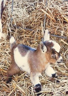 miniature goat OMG so cute! I don't care what brad says I'm buying one and naming him skippy
