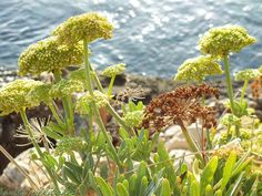 Rock samphire on Crete (Greece)