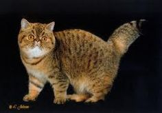 FAVORITE KITTY ~ Extreme Exotic Shorthair ♥