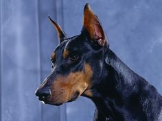 Its not a dog, its a Doberman redness