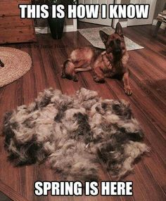 Black German Shepherd dogs mix has resulted in other breeds of dogs like Pugs, Collies, Huskies, and more. Black German Shepherd Dog, German Shepherd Memes, German Shepherd Puppies, German Shepherds, German Shepherd Training, Funny Animal Pictures, Dog Pictures, Funny Animals, Cute Animals