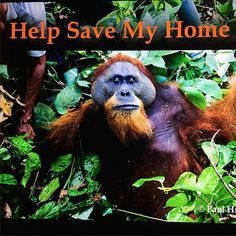 We have less that 24 hours to hit our target to ‪#‎SaveLeuserEcosystem‬. With your help we can save the last place on earth were tigers, rhinos, orangutans and elephants still run wild. Help us keep it that way. Click on this link and make a donation. https://www.indiegogo.com/projects/racing-extinction-in-the-leuser-ecosystem#/story. Link in bio  Avatar was the first orangutan rescue that I photographed. It had a profound effect on me. I knew right then, that I couldn't turn my back and…