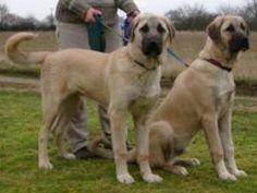 Anatolian Shepherd Dogs - Champdogs ®