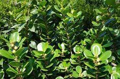 Green Island Ficus Ficus Microcarpa Green Island Green