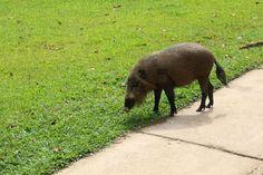 Cerdo barbudo de Borneo