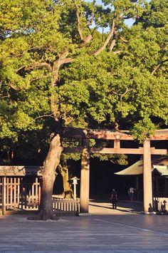 Meiji-jingu. Jättefint och känt trätempel som ligger mitt i parken. Gå in norra ingången i parken och vandra den långa allén med fantastiska höga träd.