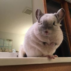 29 Pictures That Prove Chinchillas Are The Cutest Animals On The Planet - Chinchilla Journal