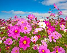 Cosmos Wildflower. Easy and fast growing Annual. Beautiful blooms all year long! Grow from seeds!