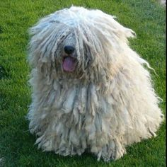 It's a mop! It's a duster! No, it's a puli! And it's totally hilarious. Not to mention cute.