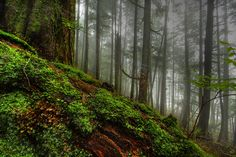 Forest Simphony - Morning in the Tongass National Forest, Ketchikan, Alaska By Carlos Rojas Misty Forest, Forest Path, Magic Forest, Tree Forest, Forest Background, Background Images, Moss Grass, Tongass National Forest, Forest Wallpaper