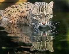 fishing cat Small Wild Cats, Small Cat, Big Cats, Wild Cat Species, Endangered Species, Mugger Crocodile, Rare Animals, Wild Animals, Water