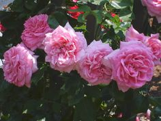 Viking Queen wonderful rose to grow and smells good too