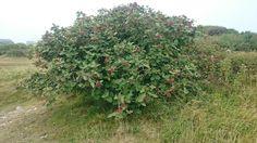 Wayfaring tree, Viburnum lantana. Ian Baird, Isle of Portland, Dorset, UK