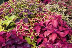 coleus - colorful shade lovers (would be perfect for our side-yard and their roots would create a nice den for the turtle!)