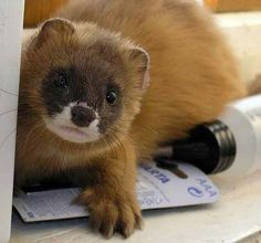 #ferrets really wish I could find them in my area would love to get two of them