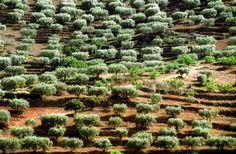 Produção de azeitona em 2013 bate recorde dos últimos 50 anos - PÚBLICO