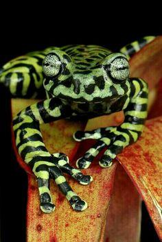 Tiger's Tree frog (Hyloscirtus tigrinus)