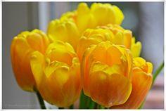 For a yellow spring day! https://www.facebook.com/EssenReisenLeben #EssenReisenLeben #Gelb #Tulpen #Frühling #spring #primavera