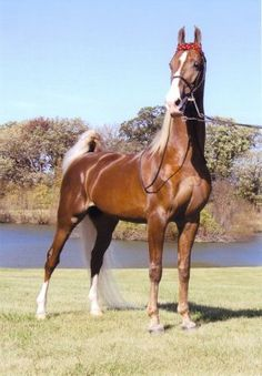 """Missouri Breeders Challenge - American Saddle Horse Breeders Futurity of Missouri """"Arrowheads Once In A Lifetime"""""""
