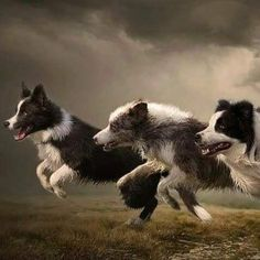 Border Collie Pictures, Border Collie Art, White Border Collie, Flying Dog, Dog Heaven, Dogs And Puppies, Doggies, Dog Rules, Therapy Dogs