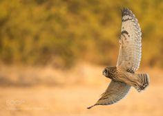 Short Eared Owl by hardik20000 #animals #animal #pet #pets #animales #animallovers #photooftheday #amazing #picoftheday