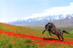 Horse running ~ Mountains ~ Red Flowers