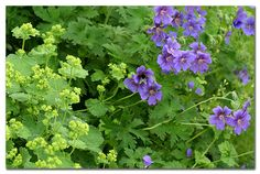Tuin: Inrichting+Decoratie - Garden ~Vrouwenmantel (Alchemilla mollis) met Geranium *Lady's Mantle~