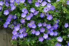 Planted this today!. A PERENNIAL geranium!!  In front of Brooke and Matt's house - perhaps pair it with pink begonias. Favorite- All summer bloom low maintenance Rozanne Geranium