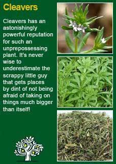Richard Whelan ~ Medical Herbalist ~ Cleavers