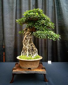 """ถูกใจ 371 คน, ความคิดเห็น 5 รายการ - Scott Lee (@ital_11) บน Instagram: """"Satsuki!! One of the trees displayed at the our local bonsai exhibit...#bonsai #japanesebonsai…"""""""