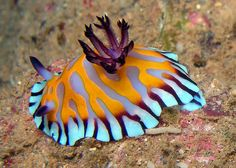 Beautiful Chromodoris roboi  A colourful nudibranch seen at the Navy Pier, Exmouth, Western Australia