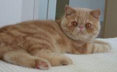 O Exótico Shorthair é um gato muito dócil    http://canaldopet.ig.com.br/curiosidades/racas/2016-09-02/gatos-para-apartamento.html