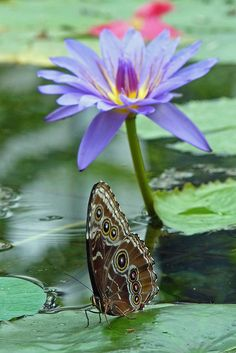 Butterfly on Water Lily