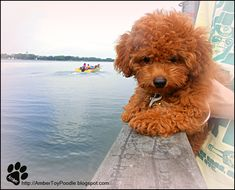 A Red Toy Poodle Story: Gallery
