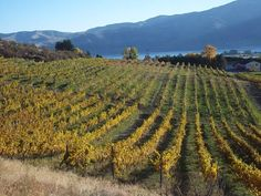 Hard Row to Hoe Vineyards, Chelan, WA.  Thanks to Don Phelps unending work from planting to selling.