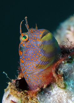 This looks like a cartoon doesnt it? Its a tessellated blenny a little fish that makes its home in an empty shell. Life Under The Sea, Under The Ocean, Sea And Ocean, Underwater Creatures, Underwater Life, Ocean Creatures, Beneath The Sea, Salt Water Fish, Water Animals
