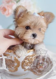 Morkie Puppy by Teacups Puppies