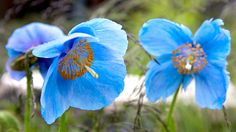 RBS Blue Water Key Plants - Designer Professor Nigel Dunnett selects his plant highlights: Meconopsis 'Lingholm' - a particularly vigorous cultivar of the Himalayan poppy which unlike some others, is reliably perennial. Beautiful Gardens, Beautiful Flowers, Narrow Garden, Quality Carpets, Blue Poppy, Chelsea Flower Show, Blue Flowers, Garden Plants, Perennials