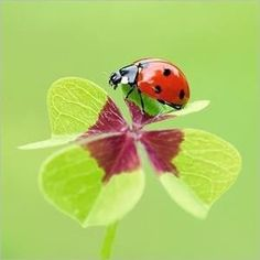 Lady bug on a clover leaf. Beautiful Creatures, Animals Beautiful, Animals And Pets, Cute Animals, Cool Pictures, Beautiful Pictures, A Bug's Life, Beautiful Bugs, Bugs And Insects