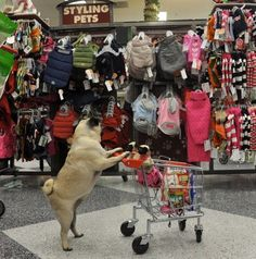 Jenny the pug shopping with her babies
