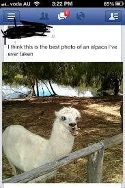 alpacas funny - Google-Suche