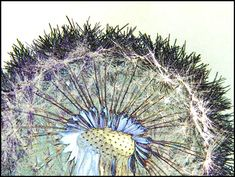 A Close-up View of the Wildflower Dandelion