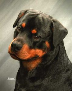 <3 Rottie with a bit of a smile....