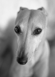 Greyhounds are so beautiful.