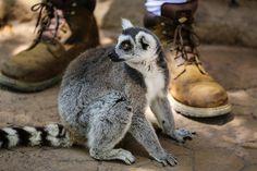 The new Lemur Walk exhibit at the San Diego Zoo Safari Park allows guests to get fresh with endangered Madagascan lemurs. www.sdzsafaripark.org