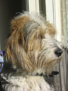 Frodo, my Petit Basset Griffon Vendeen Petit Basset Griffon Vendeen, Griffon Dog, Animals And Pets, Cute Animals, Wire Fox Terrier, Basset Hound, Four Legged, Dog Cat, Creatures