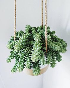 Sedum Morganianum - the Burros Tail Succulents - Sedum Morganianum - the . Sedum Morganianum - the Burros Tail Succulents - Sedum Morganianum - the Burros Tail Succulents - Cacti And Succulents, Planting Succulents, Planting Flowers, Sedum Plant, Plant Pots, Propagate Succulents, Succulent Terrarium, Small Indoor Plants, Cool Plants